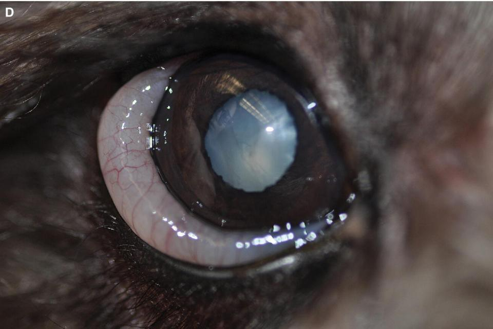 Photo displaying chemosis in an animal.