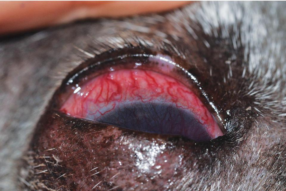 Photo displaying iridocyclitis and associated ciliary flush secondary to corneal ulceration and uveitis in a dog.