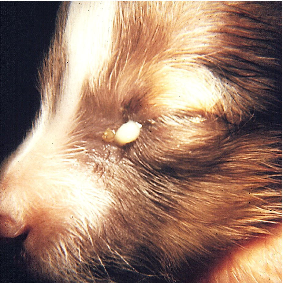Photo displaying ankyloblepharon and neonatal ophthalmia in a Shetland Sheepdog puppy. There is marked swelling of the eyelids and purulent exudate is escaping from an opening in the medial ankyloblepharon.