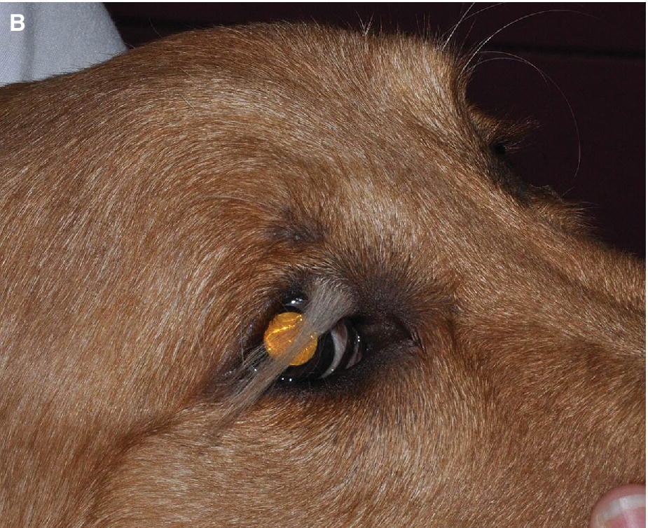 Photo displaying dermoid of the upper eyelid in a young Golden Retriever.