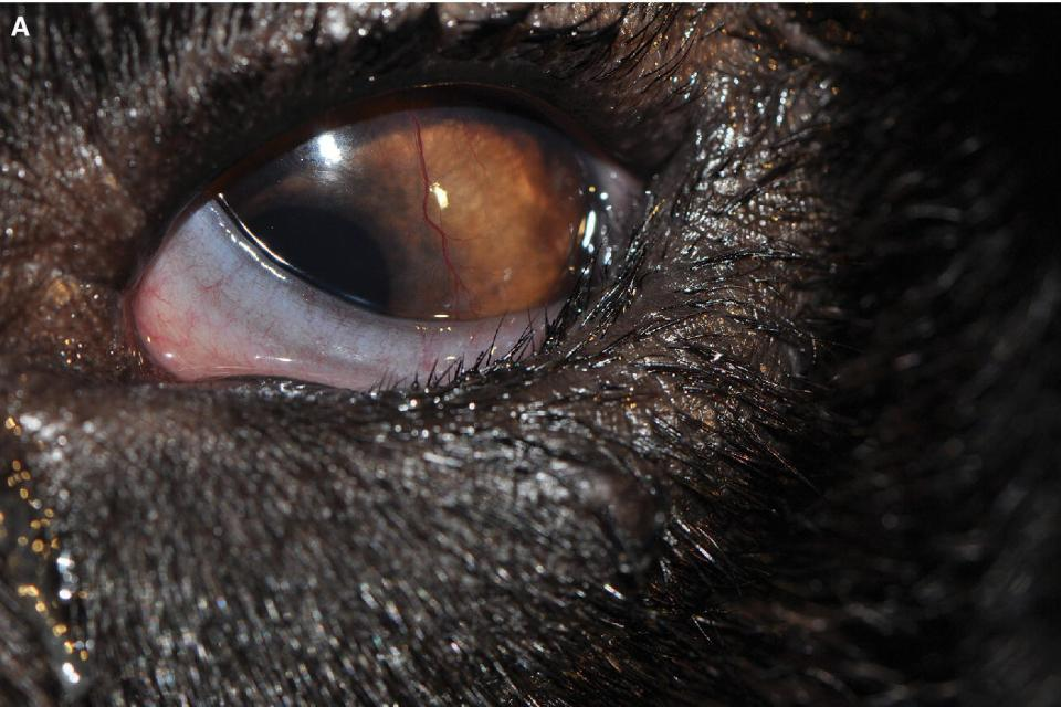 Photo displaying the eye of a Norwegian Elkhound with entropion in the lateral and lower eyelid.