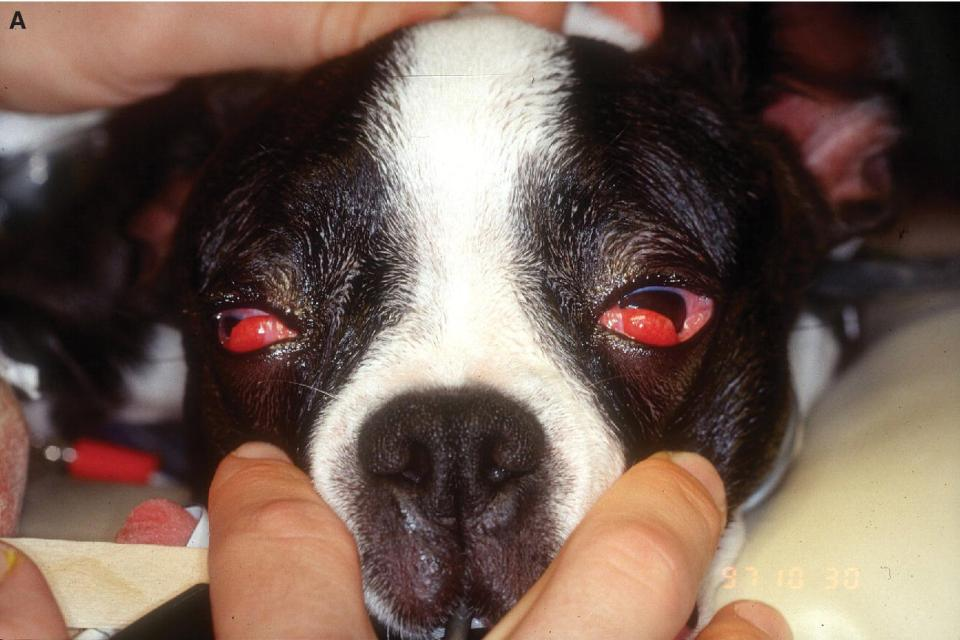 Photo displaying prolapse of both nictitans tear glands in a Boston Terrier puppy with enlarged and prolapsed glands anterior to the nictitans leading margin.