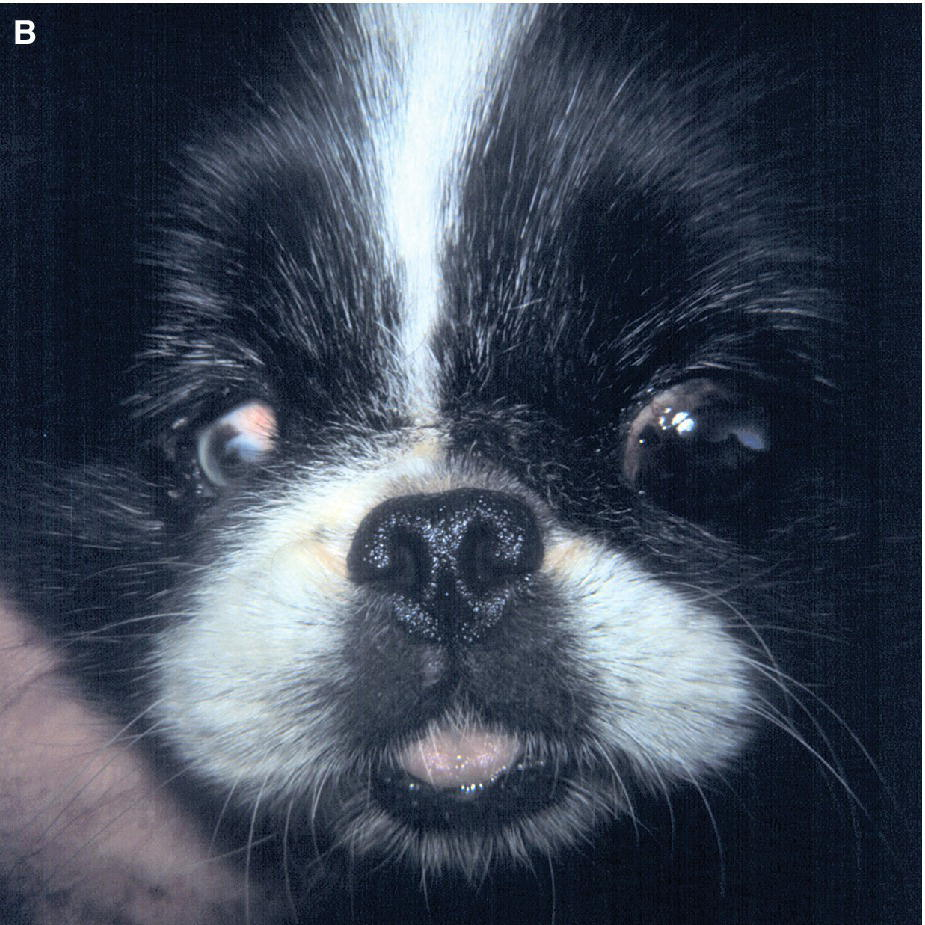 Photo displaying a Boston Terrier mix puppy with unilateral microcornea and microphthalmia with the opposite globe enlarged from congenital glaucoma.