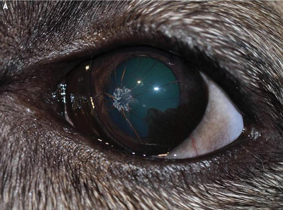 Photo displaying eye of a mixed-breed dog with persistent pupillary membranes pigmented originating from the middle of the iris forming a pigmented circle on the posterior cornea.