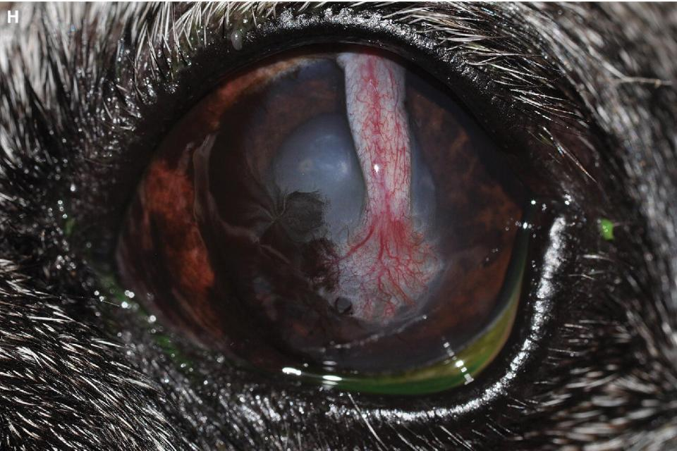 Photo displaying a dog's eye with a conjunctival pedicle graft that has healed and is well‐incorporated into the native cornea.