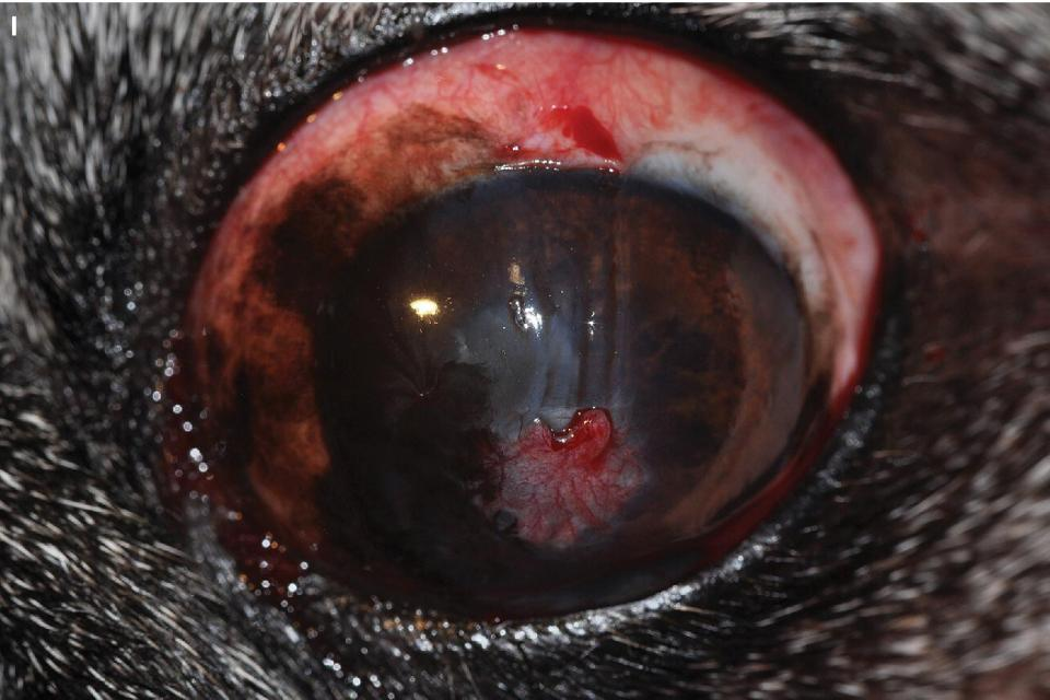 Photo displaying dog's eye immediately following the trimming of a graft pedicle.