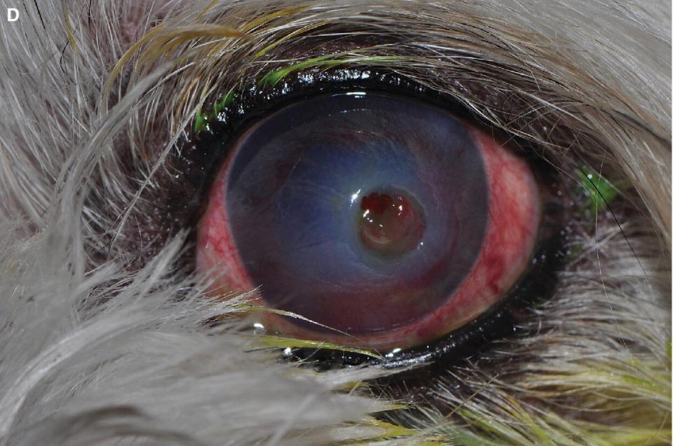Photo of a dog's eye displaying perforated central corneal ulcer with recent iris prolapse with hemorrhage.