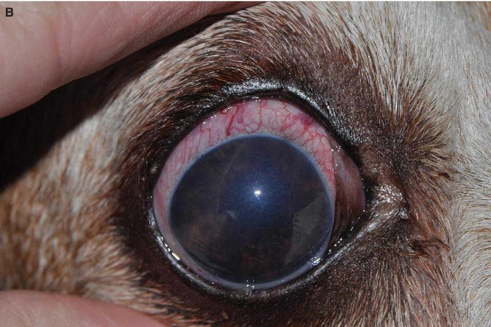 Photo of a Basset Hound glaucomatous eye having concurrent iridocyclitis.