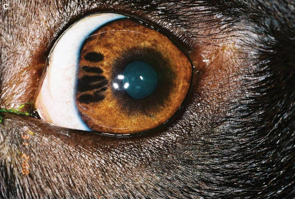Photo of an eye of a young mixed‐breed dog with iris hypoplasia.