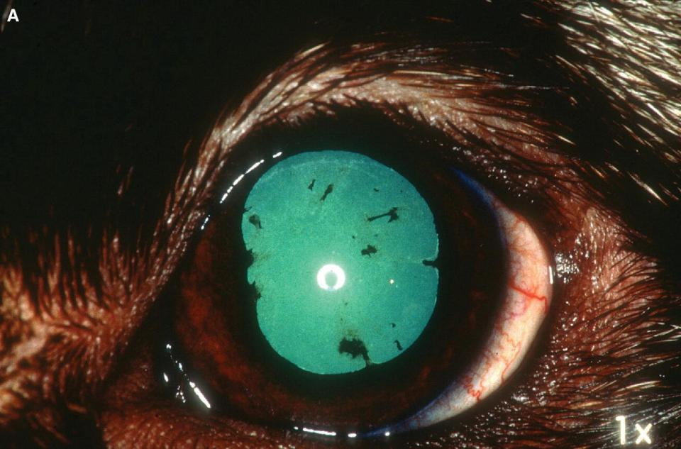 Photo of an eye of an Akita dog displaying uveodermatologic syndrome during a remission phase.