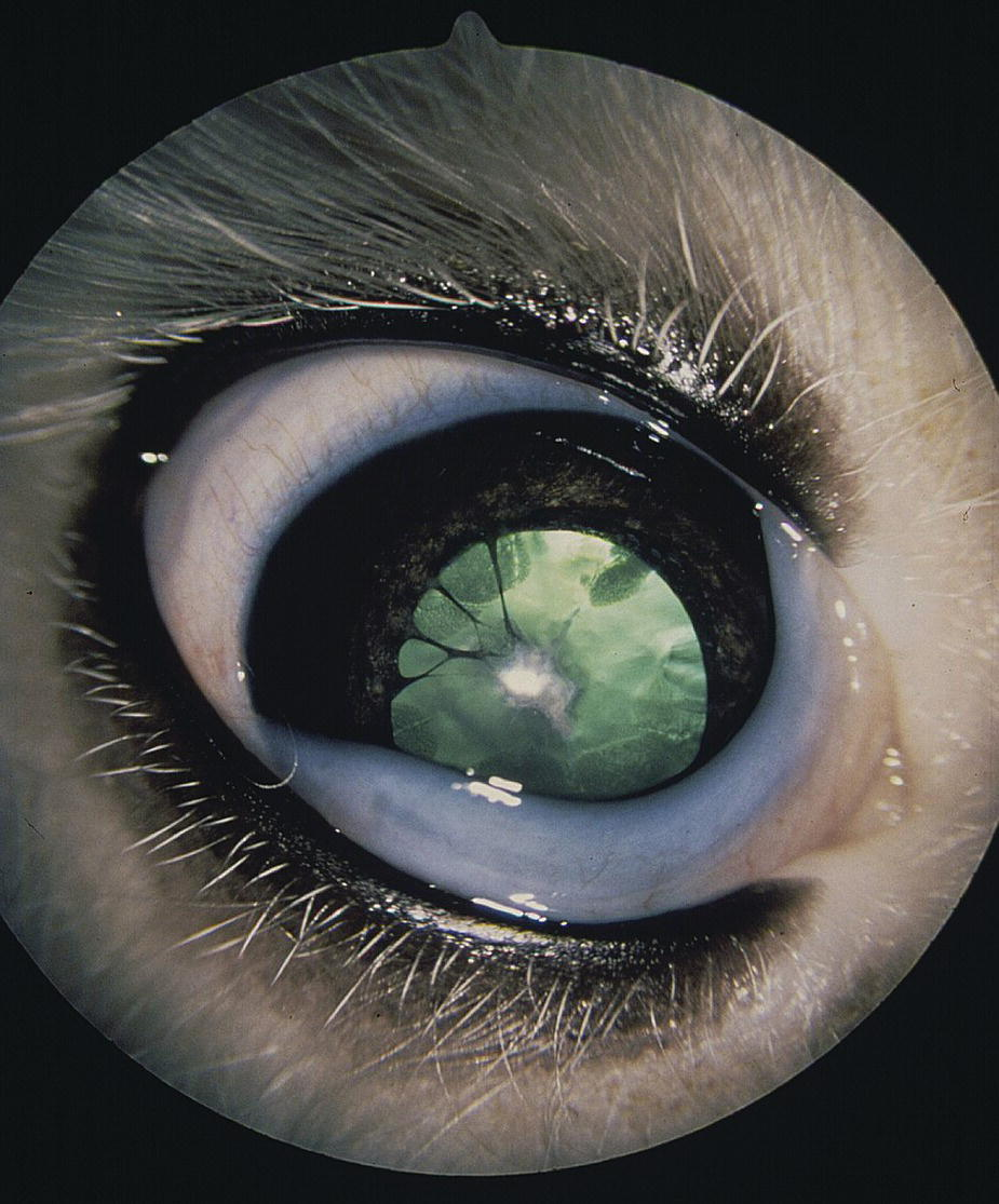 Photo of an Old English Sheepdog puppy's eyes with four PPMs extending from the collarette area of the anterior iris and inserted on the anterior lens capsule, and cataract formation in the lens cortices.