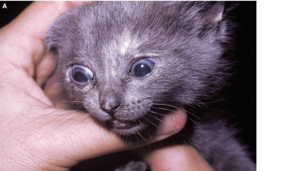 Photo of a kitten with microphthalmia.