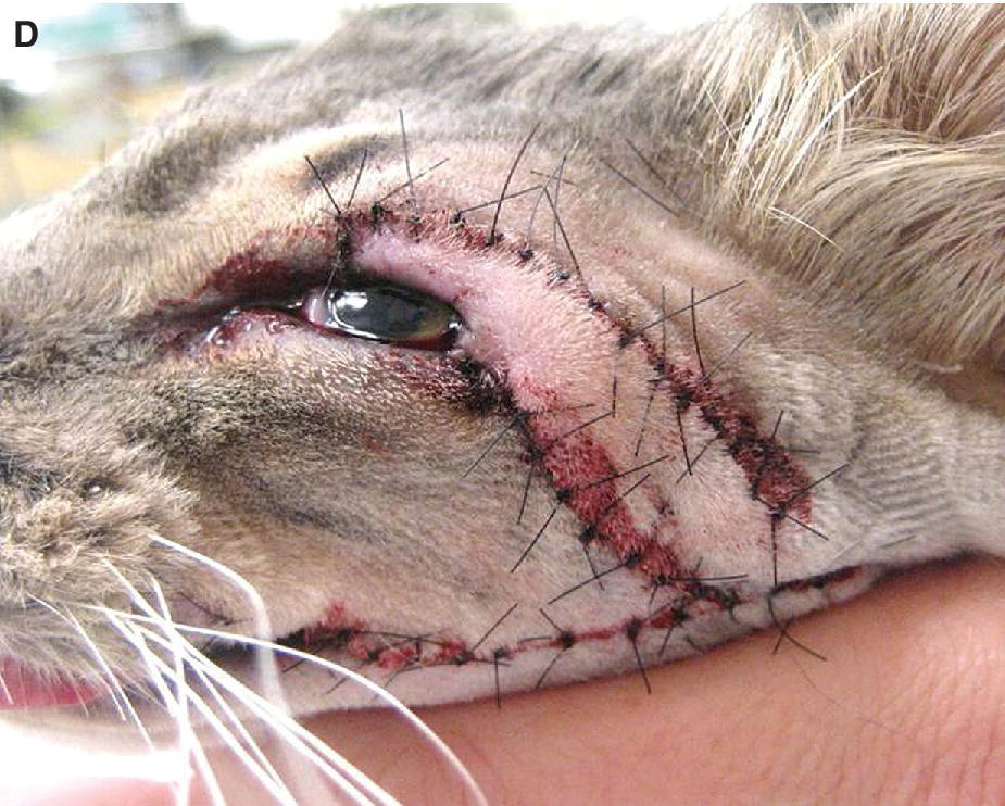 Photo displaying eyelid agenesis in a cat immediately following repair with a modified lip‐to‐lid procedure.