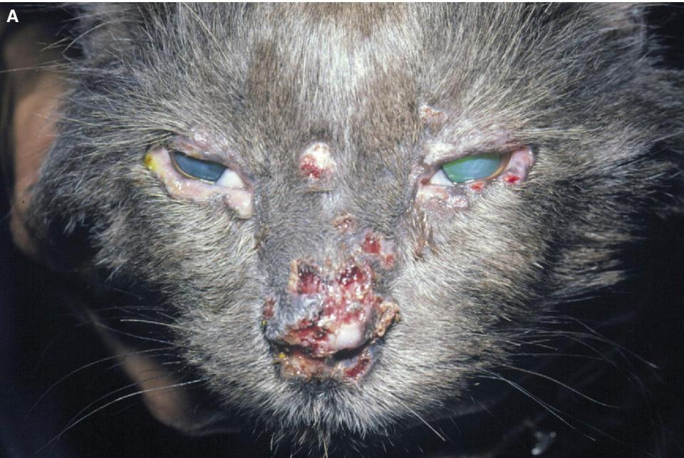 Photo displaying blepharitis associated with demodex in a cat, involving the nose, forehead, and eyelids.