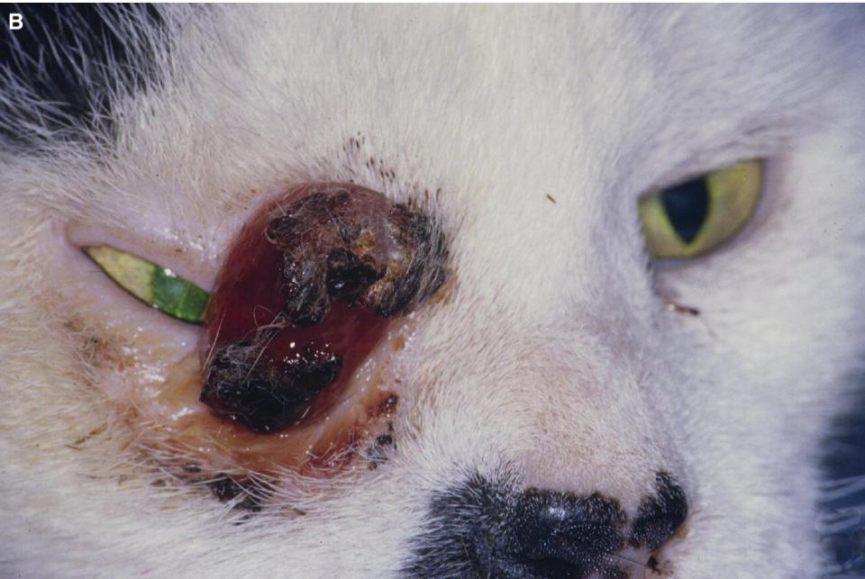 Photo displaying lid squamous cell carcinoma in an aged cat's eye infiltrating the entire lower eyelid and the medial canthus.
