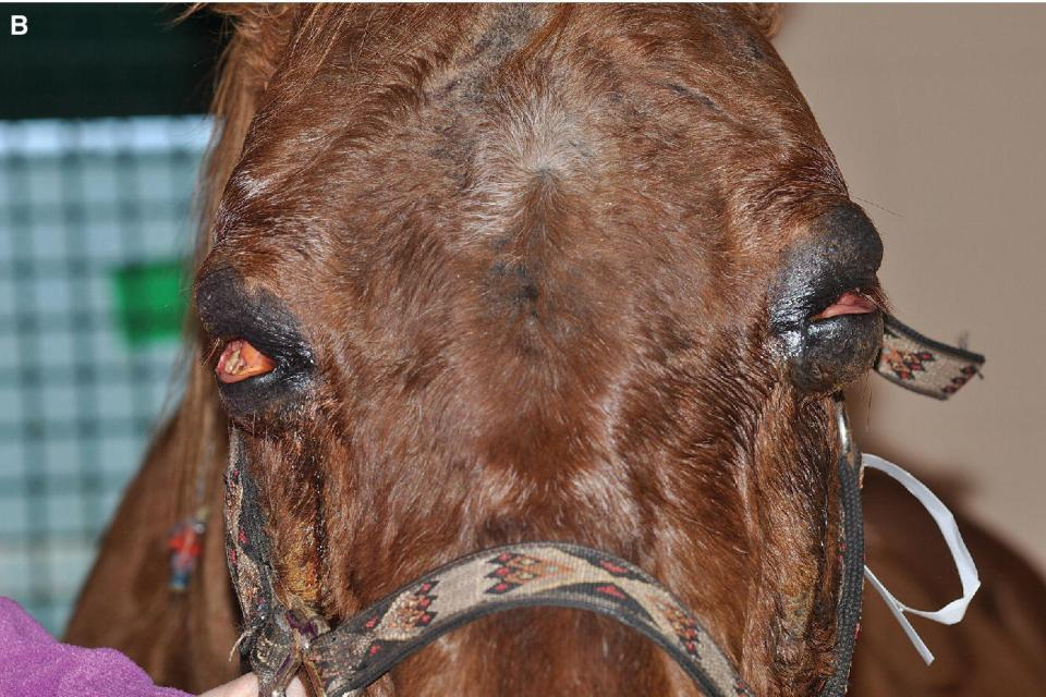 Photo displaying an orbital lymphoma in an aged Quarter Horse gelding's eyes with a unilateral focal conjunctival swelling.