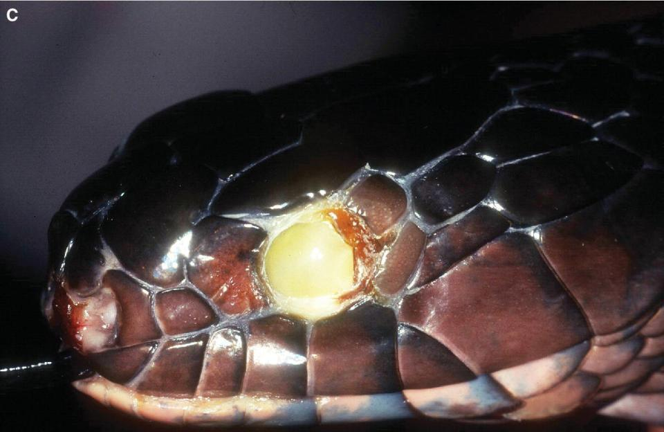 Photo of the eye of an indigo snake with subspectacular infection affecting the entire spectacle.