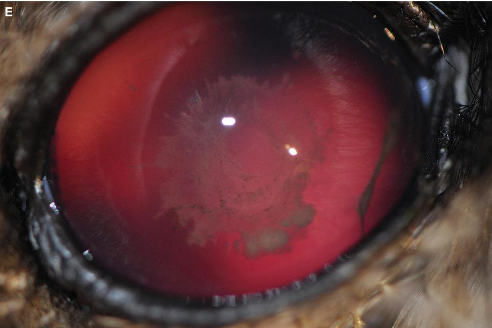 Photo of the barred owl's eye with traumatic uveitis resulting in posterior segment hemorrhage, anterior chamber fibrin, and axial cataract.