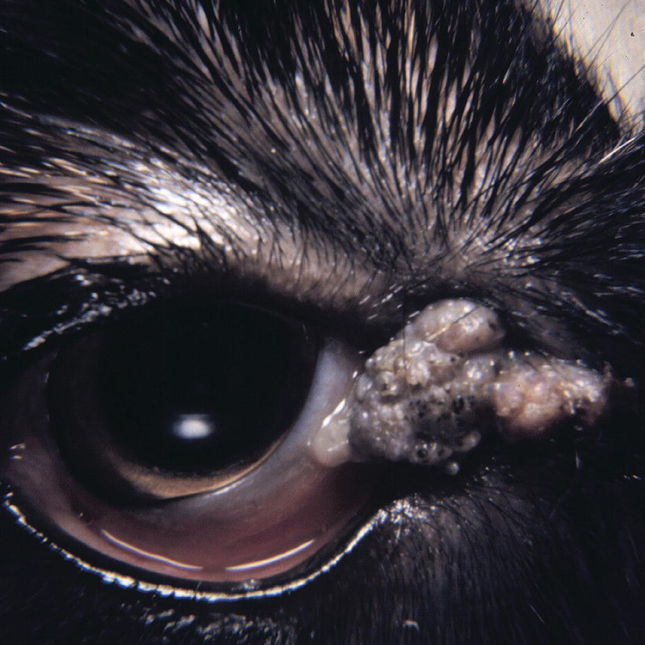 Photo of the eye of St. Bernard puppy with focal papilloma at the medial canthus.