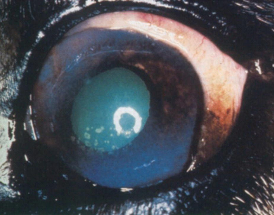 Photo of a dog's eye with episcleritis, anterior uveitis, keratic precipitates, and dark iris caused by toxoplasmosis.