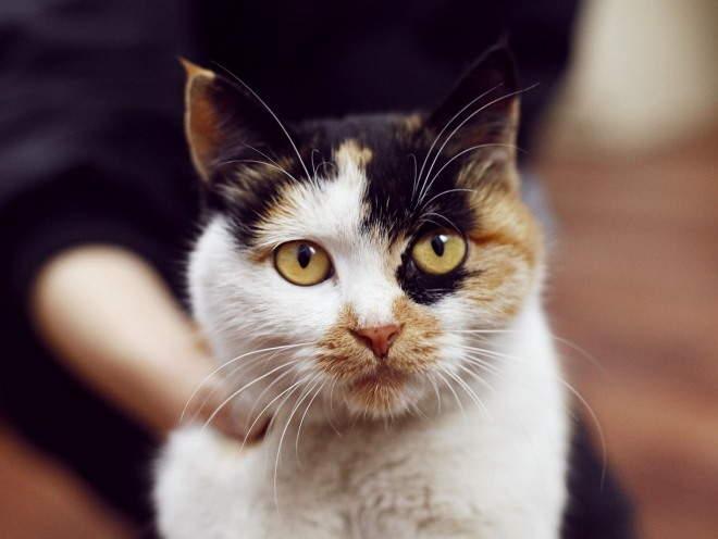 Эндометрит у кошек - симптомы, диагностика, лечение. Гнойный, послеродовой эндометрит у кошек
