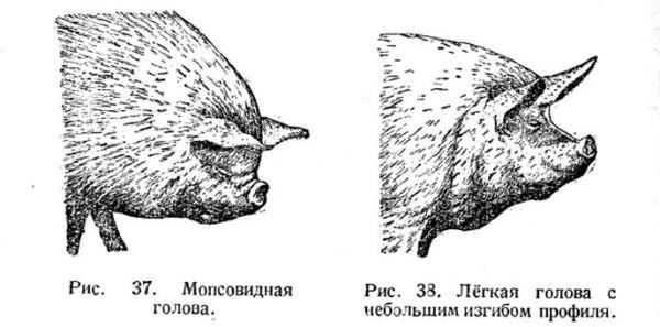 Экстерьер свиней