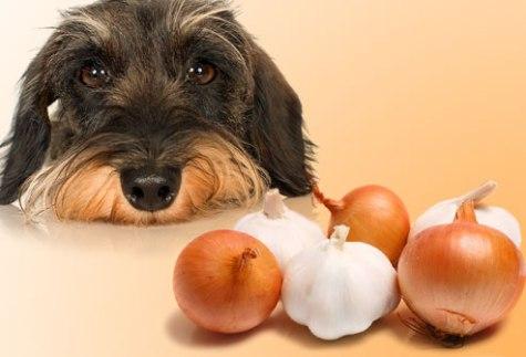 Qepa dhe Hudhra- Qepët dhe hudhrat e të gjitha formave; e shtypur, pluhur, e papërpunuar, e gatuar apo e dehidratuar- mund të shkaktërrojë qelizat e kuqe të gjakut(eritrocitet) tek qeni, duke cuar kështu në anemi. Nëse rastësisht ( gabimisht) qeni juaj arrin të marrë veteëm njëherë një sasi të vogël mbase nuk është problem, por një sasi e konsiderueshme e konsumuar , apo sasi të vogla të konsumura në mënyrë të vazhdueshme, mund të shkaktojnë helmim. Simptomat e anemisë përfshijnë : dobësi trupore, të vjella, anoreksi dhe vështirësi në frymëmarrje.