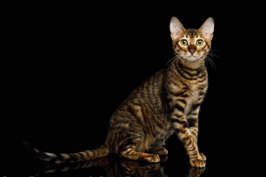 toyger cat breed in india
