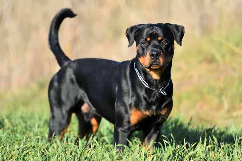 IMG: Rottweiler Dog in India