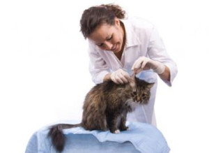 Уши кошек и котов анатомия уход заболевания Москва и