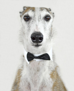 How Greyhounds Are Different From Other Dogs.