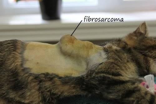 Саркома – говорим о злокачественной опухоли у кошек. Саркома (рак) у кошек Поствакцинальная или постинъекционная саркома у кис