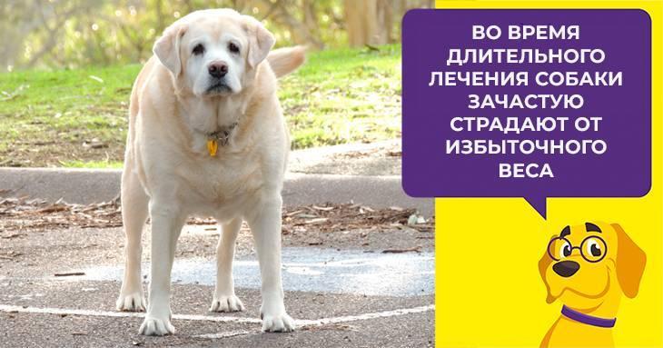 Преднизолон показания к применению для кошек. «Преднизолон» для собак: для чего назначают, инструкция по применению, дозировка