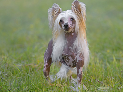 Hair Loss in Dogs(Alopecia) - Symptoms, Causes, Diagnosis & Treatment