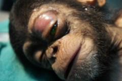 Chimp eye