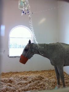 Horse in hospital at Dubai Equine Hospital