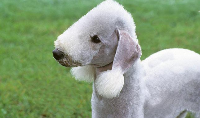 Resultado de imagen para Bedlington terrier