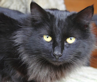Myth or Fact  Black Dogs and Cats in Shelters Are Less Likely to Be     Black cat