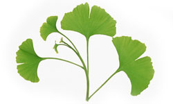 Ginkgo Biloba Natural Cures for Raynaud's Disease