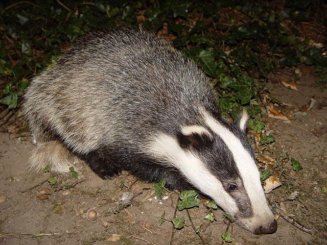 Yo! I'm a badger.