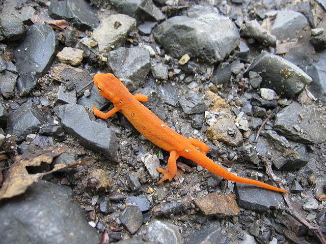 640px-Eastern_Newt