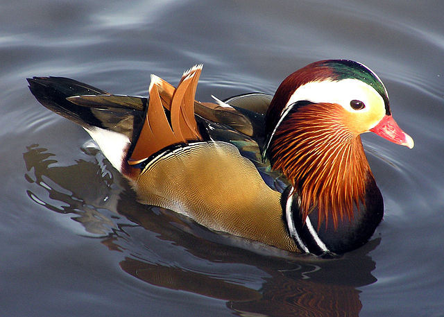 A Mandarin duck. May or may not be a drake.