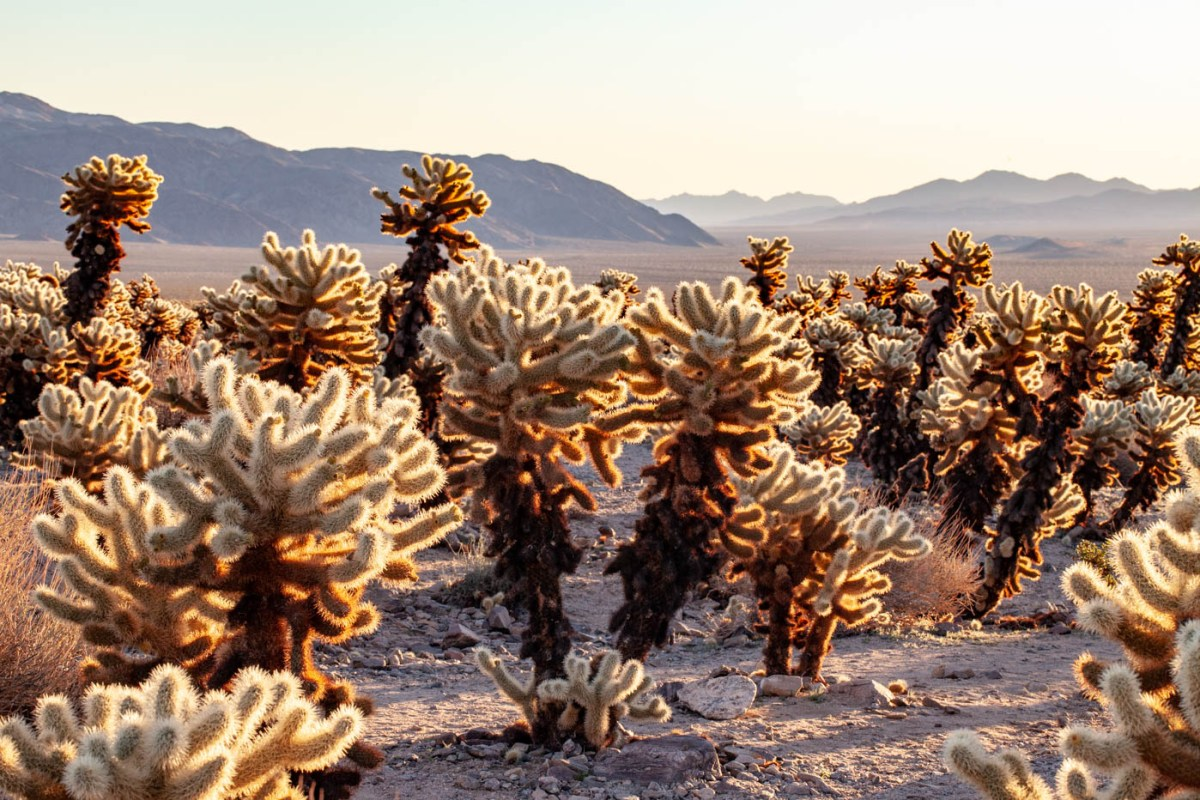 9 Must-see Locations at Joshua Tree National Park - Cholla Cactus Garden #vezzaniphotography