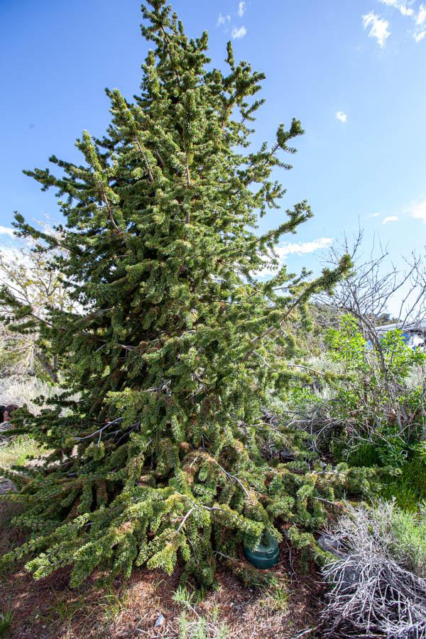 Young Bristlecone Tree at Great Basin National Park