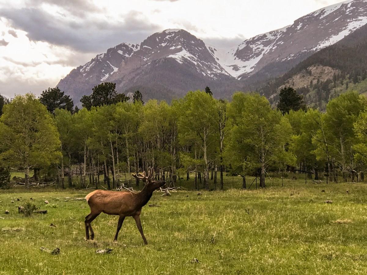 Elk at Rocky Mountain National Park, Colorado #vezzaniphotography