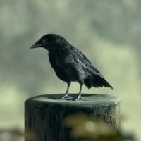 Animacioni test vrane, Goran Ognjanović
