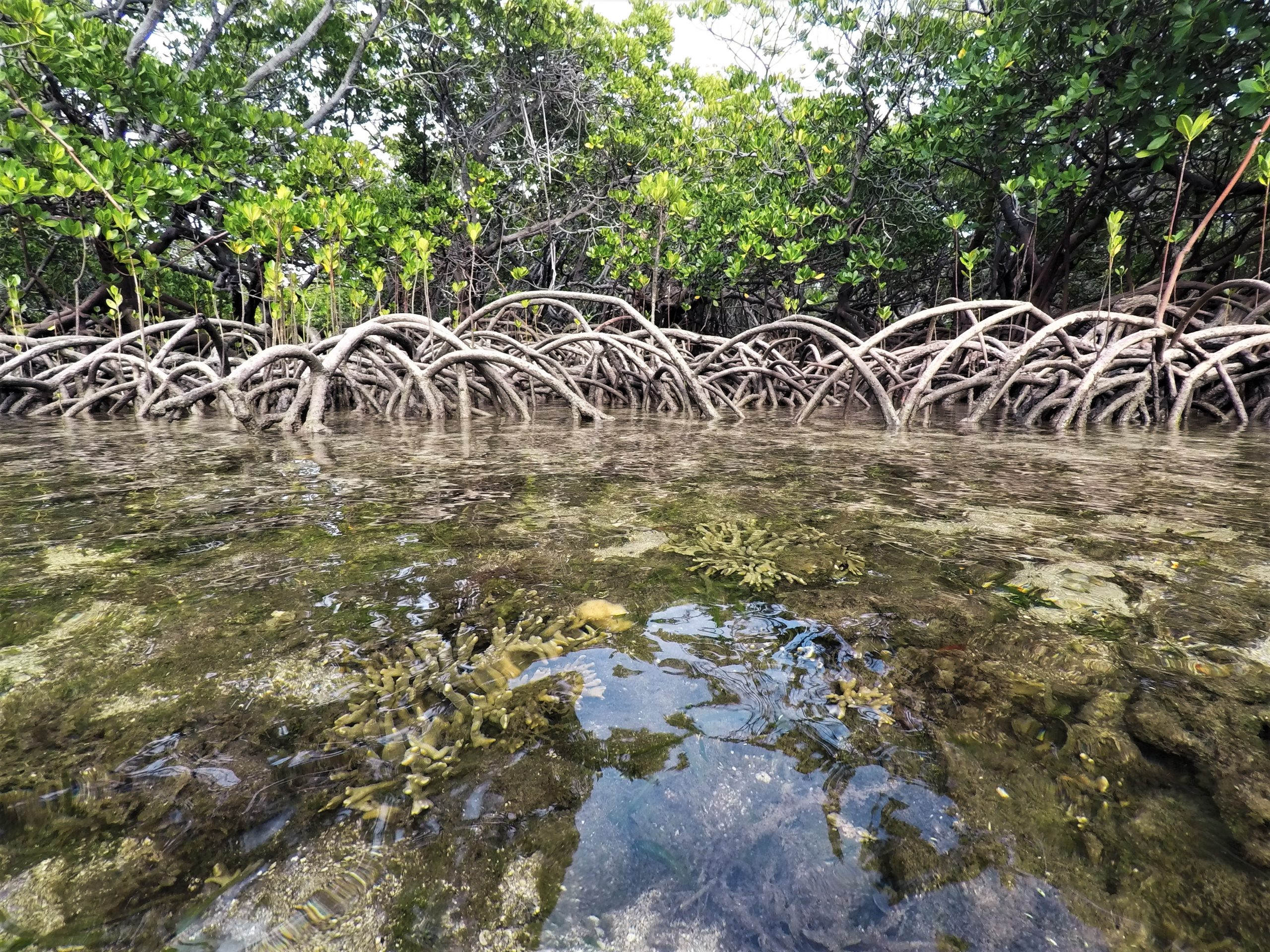 Extreme mangrove corals found on the Great Barrier Reef