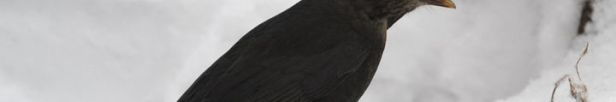 I de kolde vintermåneder kan det være en hel del sværere for solsorten og andre fugle at finde føde. Derfor anbefaler Dyrenes Beskyttelse, at man hjælper dem ved at lægge æbler ud i haven. Foto: Dyrenes Beskyttelse. Til fri afbenyttelse.