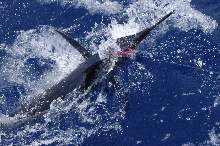 Marlin Mauritius 2003