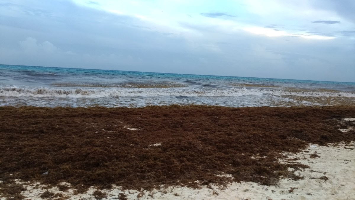 Mar de sargaço no Caribe